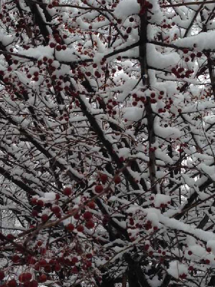 snow_berries